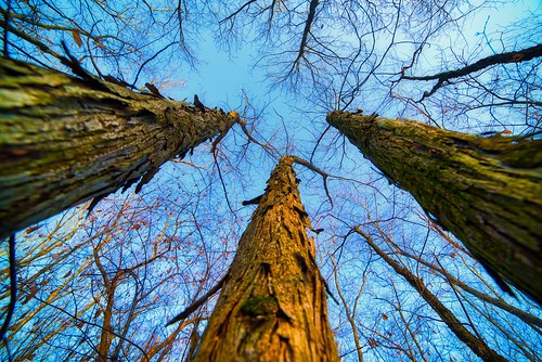 The Long View:  Looking Up At Hickory Trees