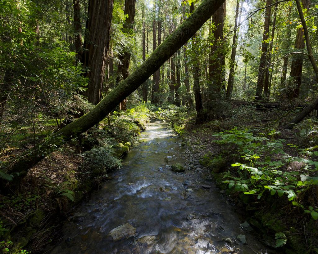 Muir Woods: Almost A Bridge