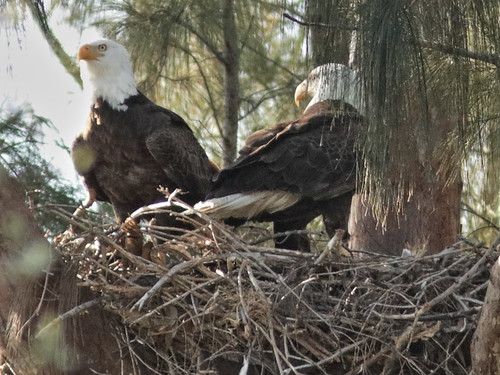 Bald Eagle male on right brings prey 02-20180131