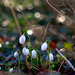 Isolated Snowdrops