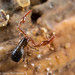 Pseudoscorpion - Moss neobisid