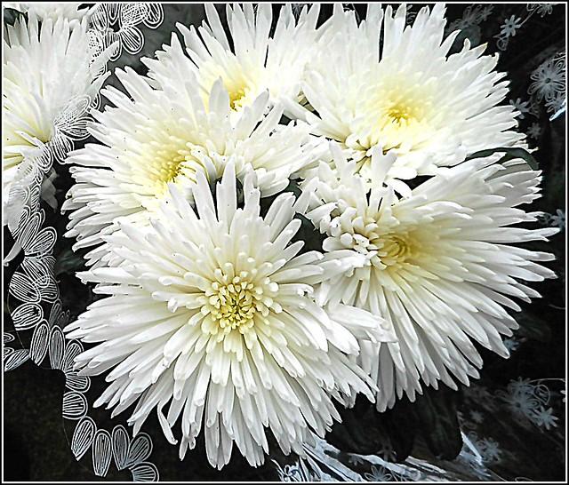 Chrysanthemum Flower,