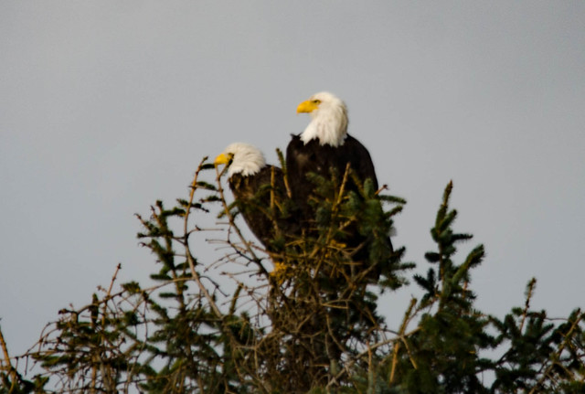 Eagles in Skagit Valley-014