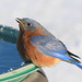 bluebird on bath closeup3 signed