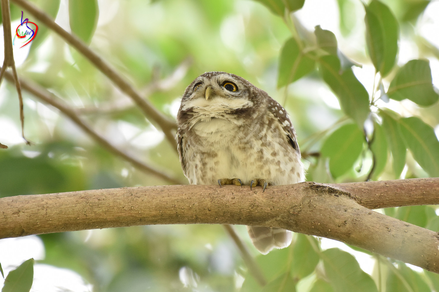 Spotted_Owlet_3910