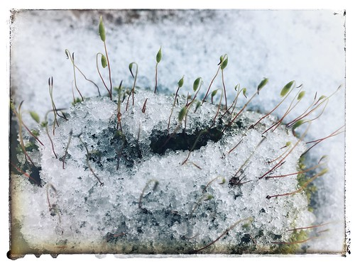 Snowy moss