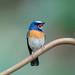 Blue-throated Blue Flycatcher by Koshyk