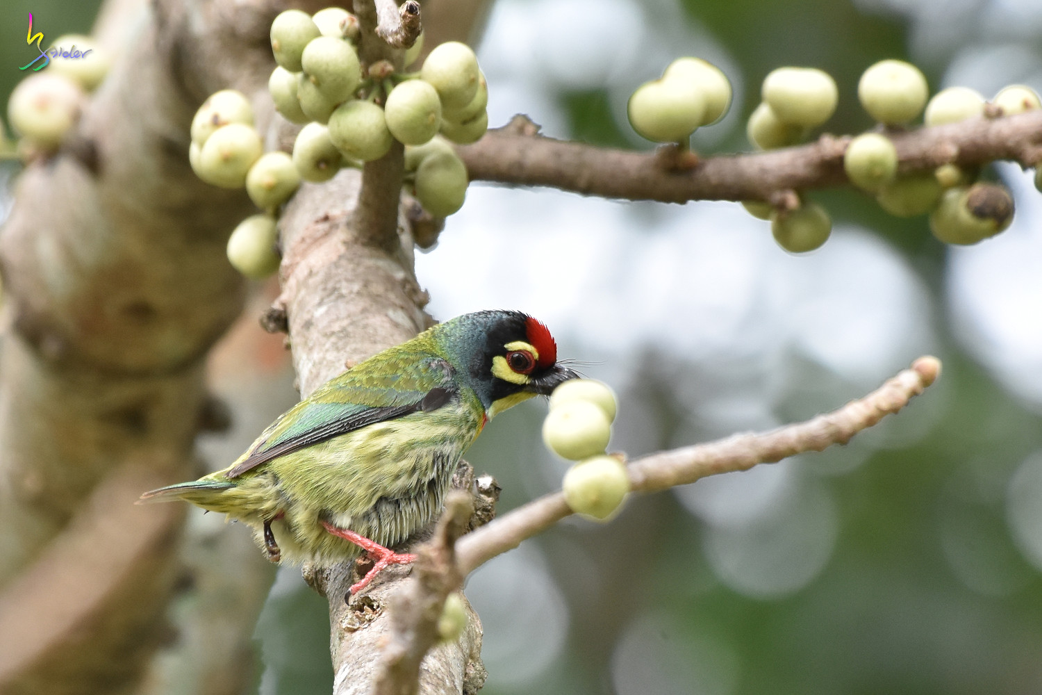 Coppersmith_Barbet_1816