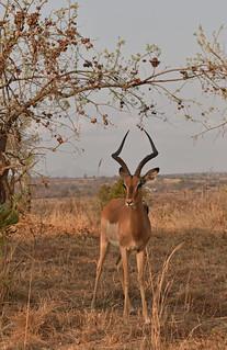 South Africa - Kruger - impala