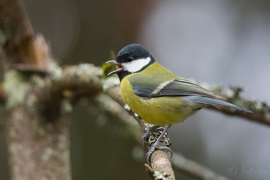 Rasvatihane, Parus, major, Great, Tit, Estonia, tihane, Kaido Rummel