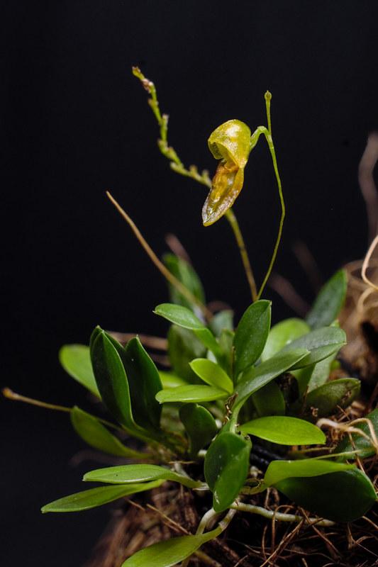 Miniatur-Orchideen Teil 4 - Seite 5 38976983014_7d135c18fc_c