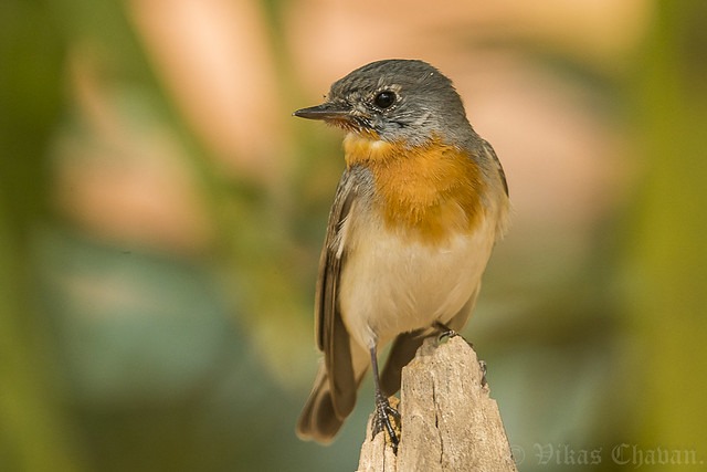 Red-breasted Flycatcher.