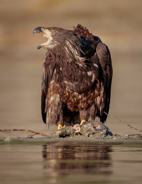 Juvenile Bald Eagle with, Canon EOS-1D X MARK II, Canon EF 800mm f/5.6L IS