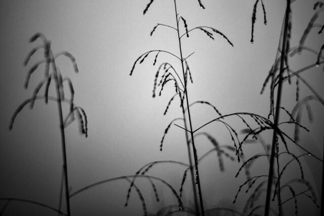 Feb 15 - The tall, wet grass b+w