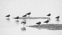 HolderArty lapwings
