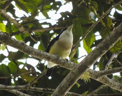 White-mantled Barbet (Capito hypoleucus)