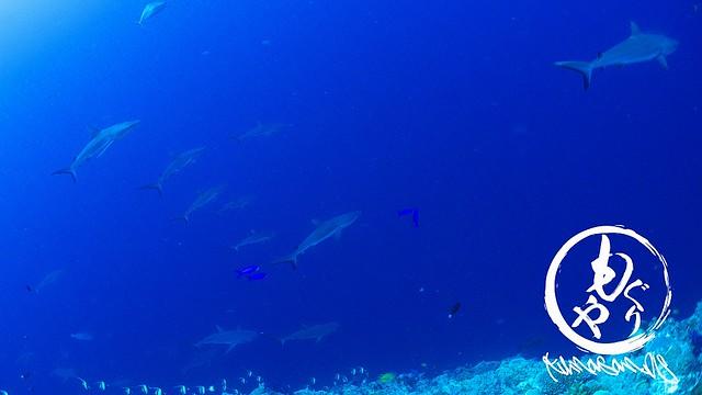 こんなサメ群れはなかなか見れないのよ~w