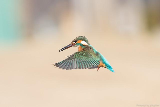 20180212-kingfisher-DSC_8783