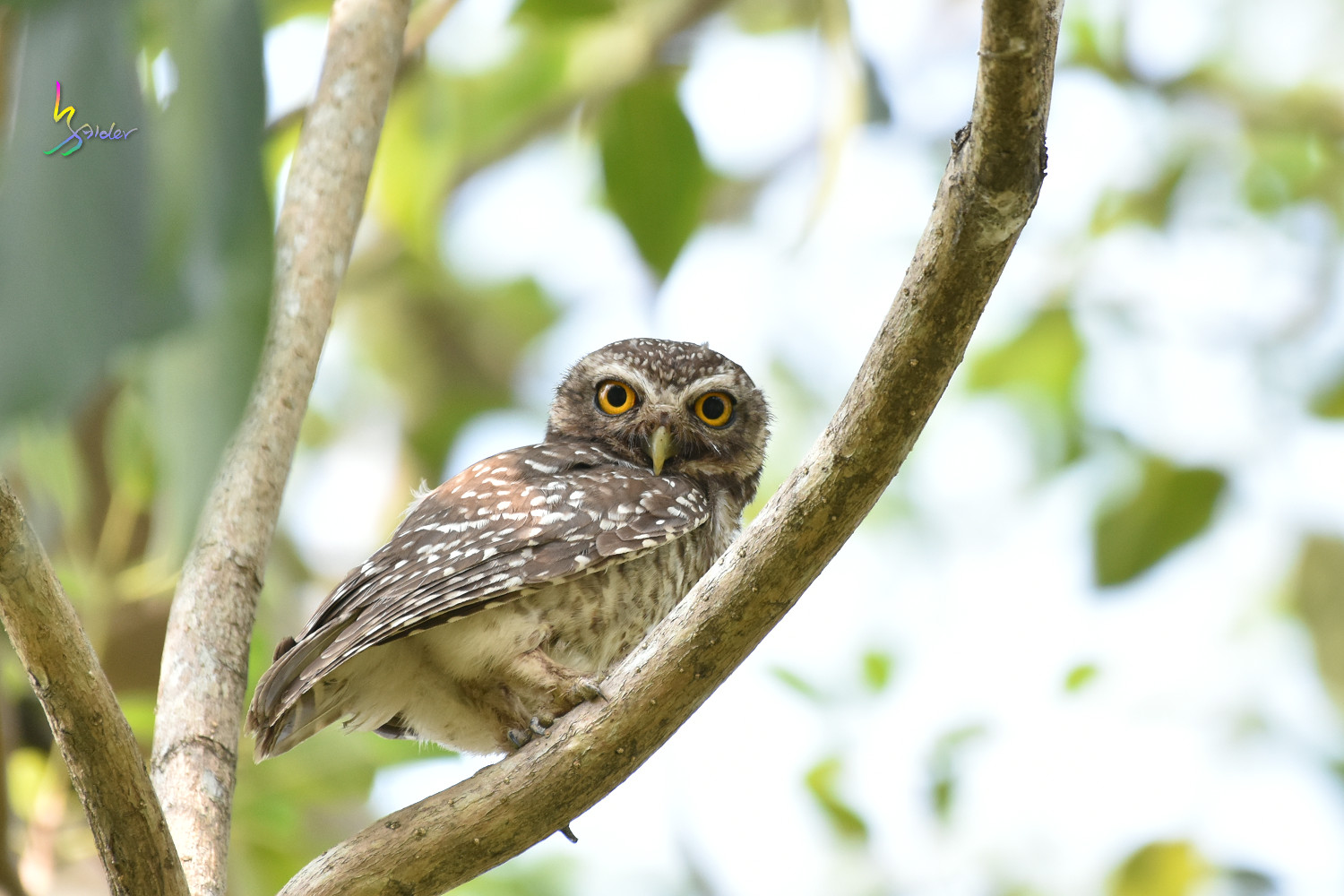 Spotted_Owlet_0667