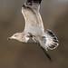 Juvenile Gull In Flight