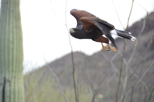 Desert Museum Raptor in flight