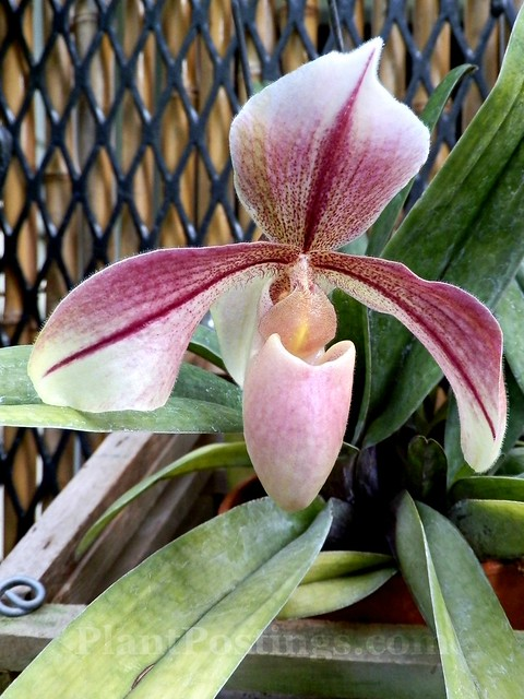 orchid paph aladdin