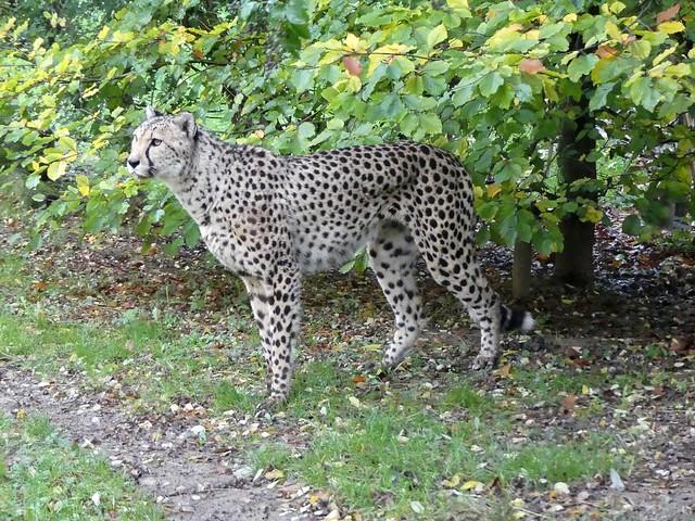 Gepard, GaiaZOO