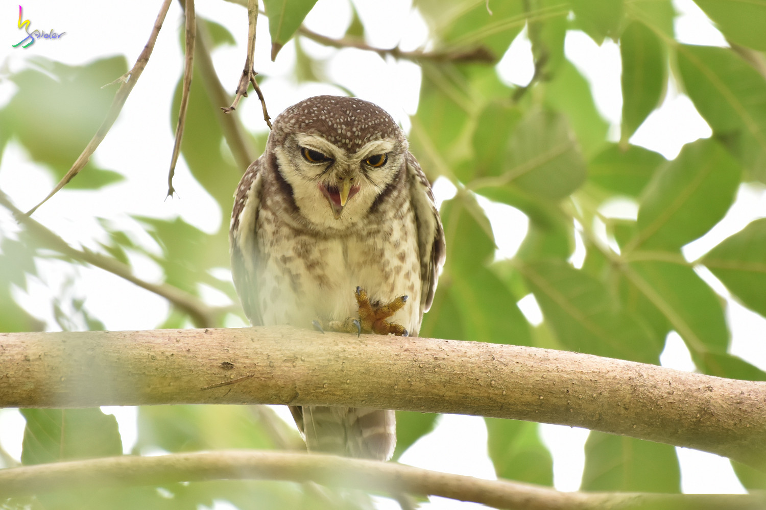 Spotted_Owlet_2394