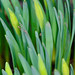 Signs of spring - daffodils, not yet open