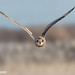 Short Eared Owl by Paul Forgham