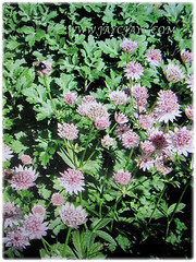 Astrantia major (Greater Masterwort, Great Black Masterwort, Melancholy Gentlemen) can grow up to 1 m tall and 45 cm broad, March 2 2018