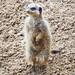 Meerkat at Chester Zoo