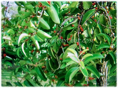 Red and fleshy fruits of Dendrophthoe pentandra (Malayan Mistletoe, Mango Mistletoe, Mistletoe Plant), 27 Jan 2018