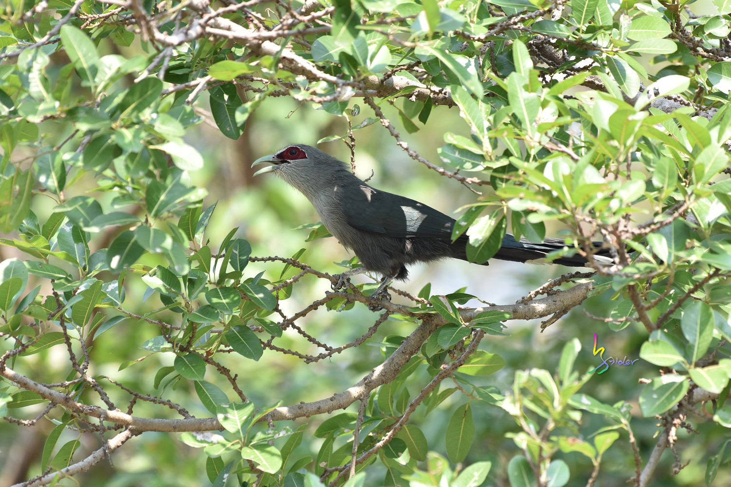 Green-billed_Malkoha_7841