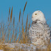 "RGL_Photography has added a photo to the pool:""The juvenile male 'Island Beach' who was captured, banded, and fitted with a GPS Transmitter at Island Beach State Park.""Project SNOWstorm www.projectsnowstorm.org DISCLAIMER: This Snowy Owl was photographed from a safe distance, using a 600mm prime lens, on a cropped sensor, which is a 900mm focal length equivalent. The image was also cropped in post editing. No Dunes were harmed during the making of this picture.Snowy OwlThe Snowy Owl (Bubo scandiacus) is a large, white owl of the typical owl family. Snowy Owls are native to Arctic regions in North America and Eurasia. Younger Snowy Owls start with darker plumage, which turns lighter as they get older. Males are almost all white, while females have more flecks of gray plumage.For more info: en.wikipedia.org/wiki/Snowy_owl"