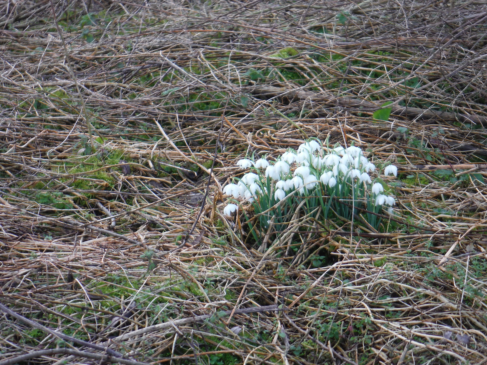 Snowdrops, Otmoor RSPB Reserve