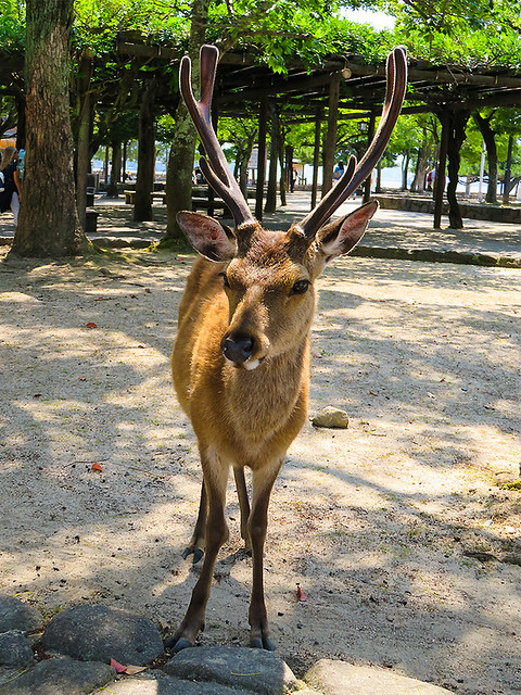 IMG_6512  Deer @ Miyajima Japan