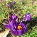 UK - London - Kew - Kew Gardens - Purple crocusses