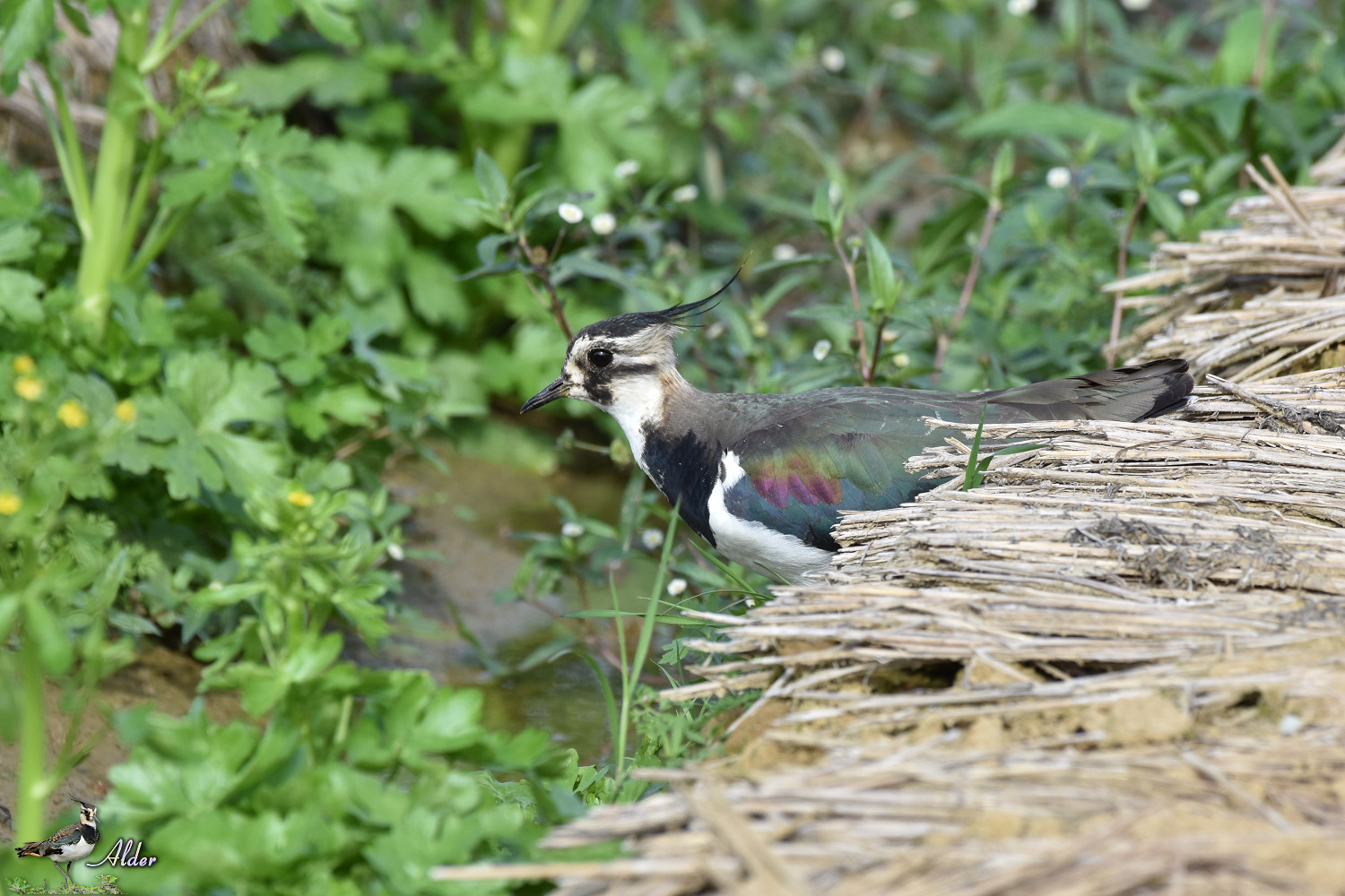 Northern_Lapwing_7862