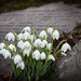 Snowdrops Springing Up In Penistone