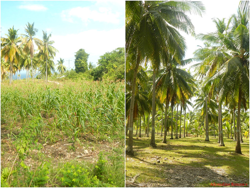 Farms and coconut groves