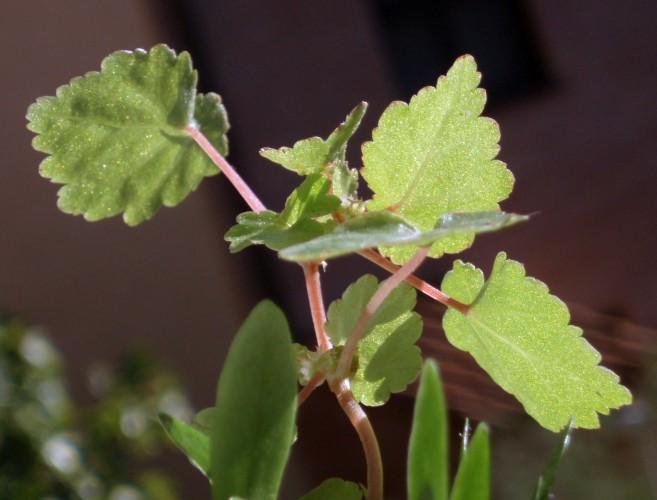 Begonia sutherlandii 38585738930_4e97a2f7c4_o