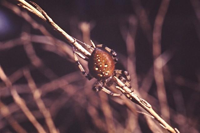 Araneus trifolium (Shamrock Orb Weaver)