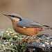 Nuthatch undecided