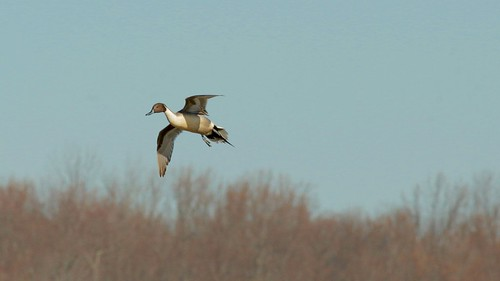 Northern Pintail Anus acuta
