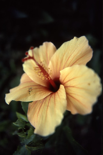Yellow Hibiscus - 1986