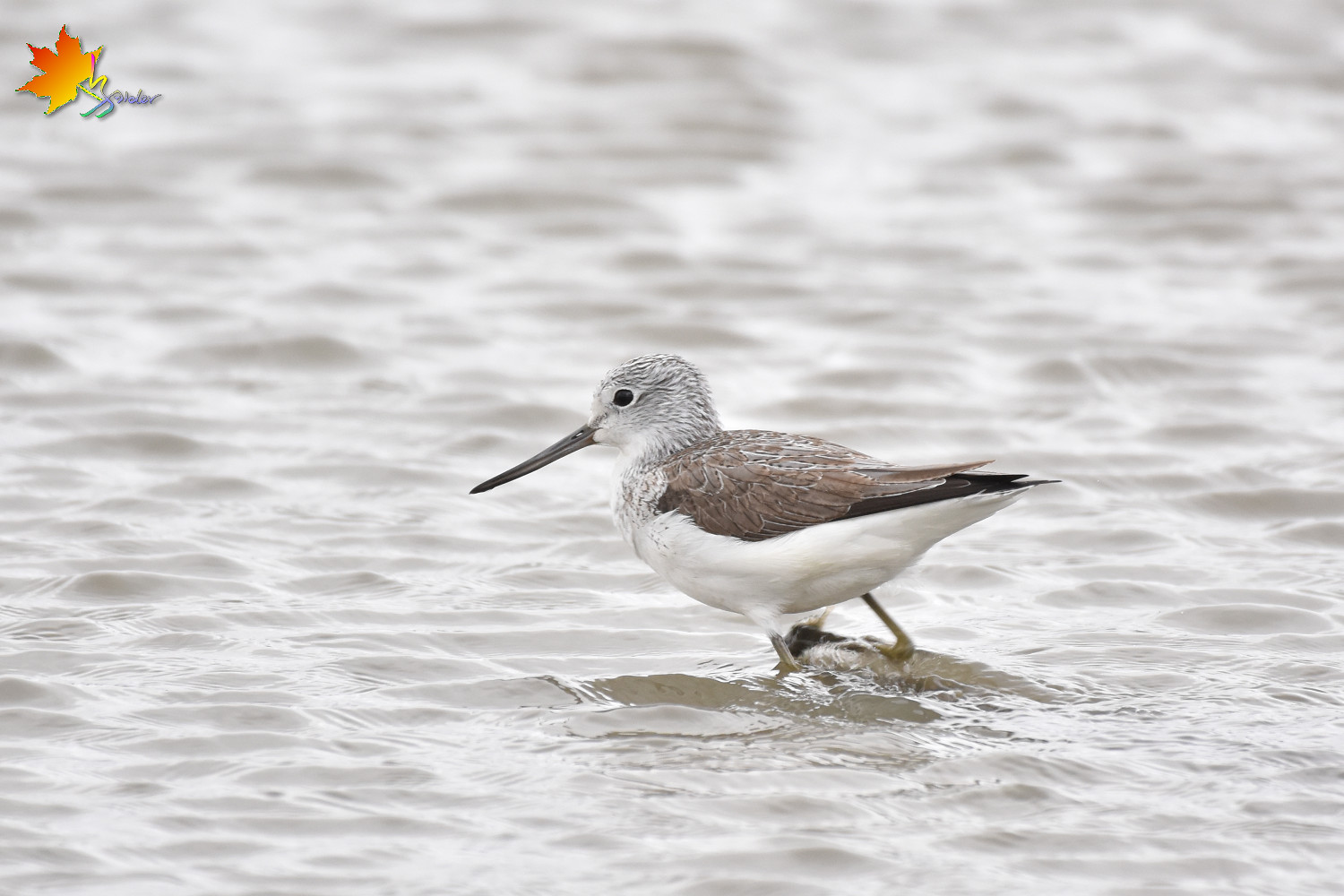 Common_Greenshank_8826