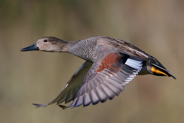Gadwall (Explored #3 01-02-18)
