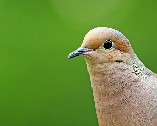 Mourning-Dove-5-1-2006-20D_0663