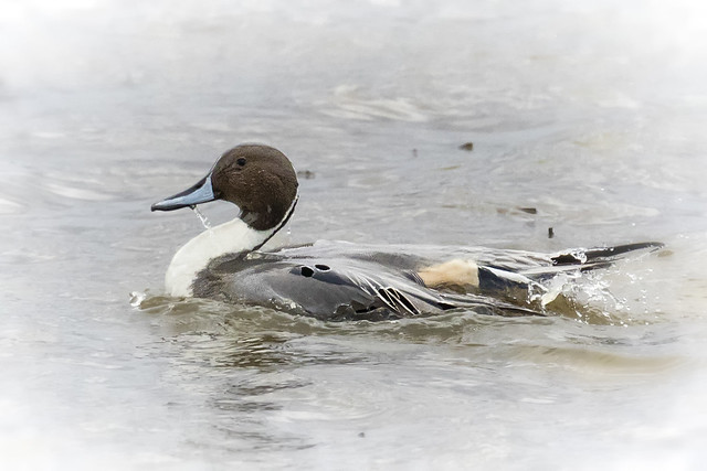 Northern Pintail shedding water...6O3A7679CR2A